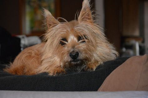 Adopt little Wizard, A Col. Potter Cairn Rescue Dog